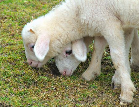 Two lambs grazing together in the grass.