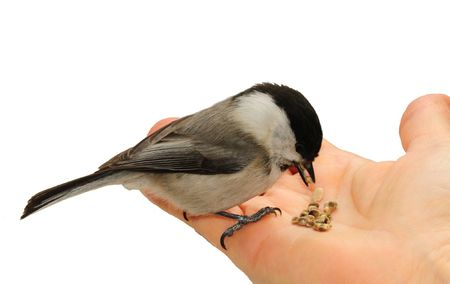 Coal Tit eating seed outs from the palm of a girls hand.  Isolated on white background.