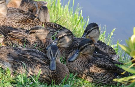 Group of Mallard hens on the grass.