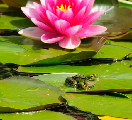 Small frog on a lily pad in a pond with a blooming pink lily.