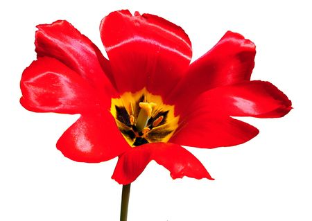 Macro of bright red open tulip isolated on white background.