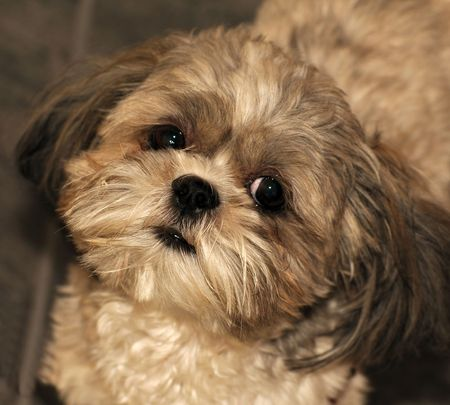 Portrait of a Shih Tzu puppy looking directly into the camera.