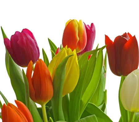 Red, Violet, Orange and Yellow Tulips isolated on a white background. Stock Photo