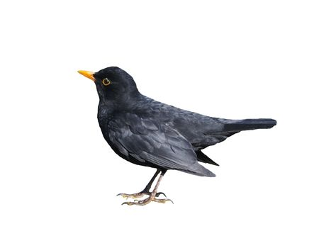 Blackbird Isolated on white