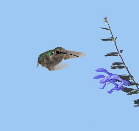zooming: Hummingbird zooming in on a blue flower. Stock Photo