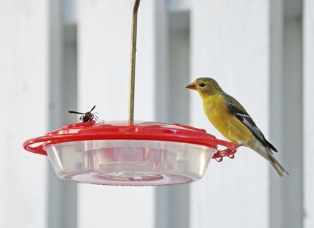 A large Wasp and a Gold Finch face off on a bird feeder. Stock Photo