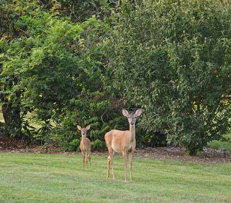 Young Doe and Fawn in a clearing.