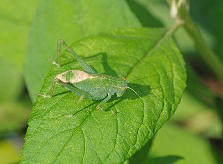 Small green grasshopper on a green leaf.