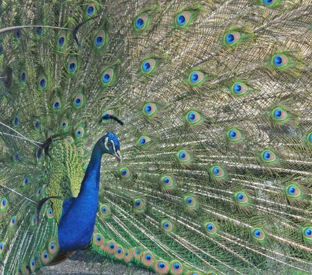 Close-up of male peacock with spread tail feathers.