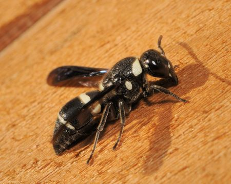 Black and white wasp - Monobia quadridens - sitting on a wooden plank.