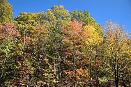 Group of beautiful Autumnally colored trees against a bright blue sky.