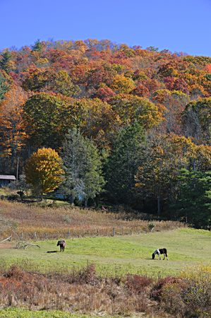 Horses in a high mountain pasture surrounded by autunmn colored forest.