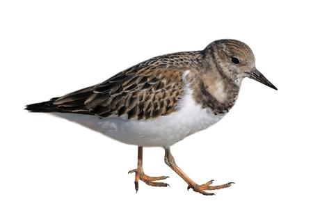 Walking Ruddy Turnstone shorebird isolated on a white background.