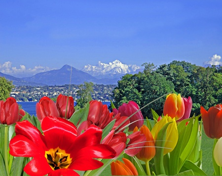 Multicolored tulips bloomng in front of Lake Geneva and Mount Blanc.