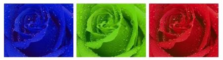 triptico: Rose tríptico