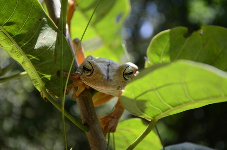 rain forest animal: Frog sitting and sleeping on branch in green background Stock Photo