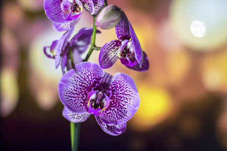 phalaenopsis: Orchid with background lights