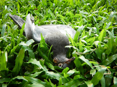 exitus: dead black bird on lawn Stock Photo