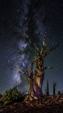 Looking at this  bristle-cone tree and the milky-way