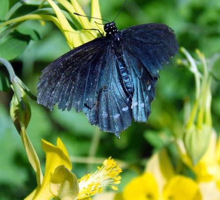blauwe swallow Stockfoto