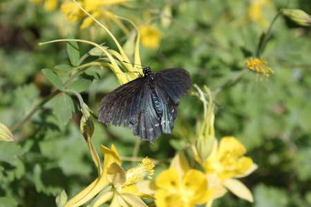 swallowtail: Blue Swallowtail Stock Photo