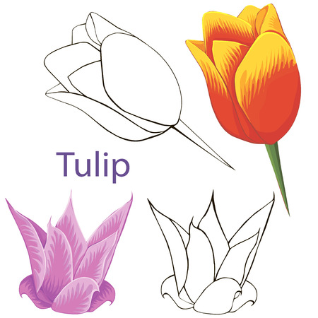 tulip flowers  contours of flowers on a white background  Vector