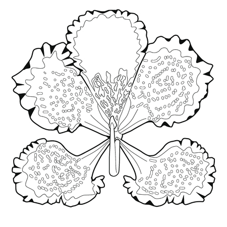 Bauhinia blossoms. Coloring book. Stock illustration. Isolated image on white background.