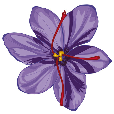 Lilac crocus blossoms. Stock illustration. Isolated image on white background.