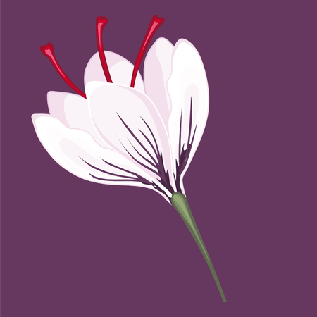 White crocus blossoms. Stock illustration. Isolated image on violet background.