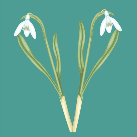 White snowdrop blossoms. Stock illustration. Isolated image on blue background. Illustration