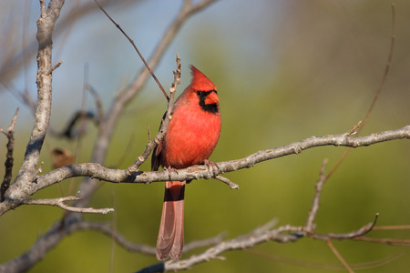 redbird: Photo of a male Northern Cardinal perched on a branch. Stock Photo