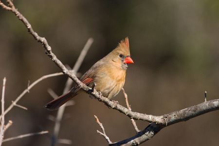 redbird: Photo of a female Northern Cardinal perched on a branch.