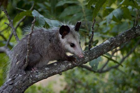 opossum: Opossum sitting on a branch. Stock Photo