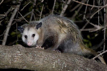 possum: Opossum sitting on a branch. Stock Photo