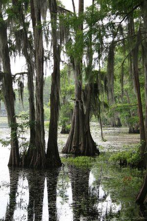 bayou swamp: Moss covered tree Stock Photo