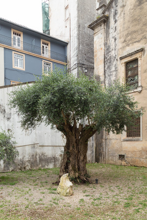 allegedly: Allegedly Millenary Olive Tree in the garden of a church in Coimbra, Portugal Stock Photo