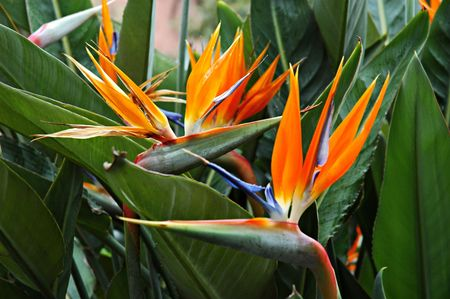 Close-up shot of a Bird of Paradise Flowers in Sicilia