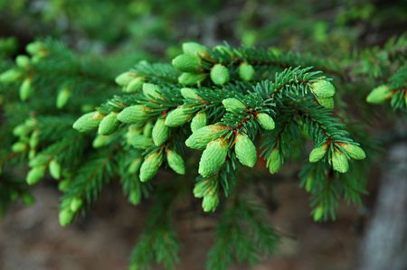 Close-up of branch's Black Spruce