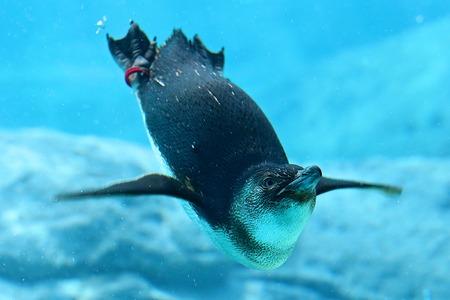 Pinguïn in aquarium Stockfoto