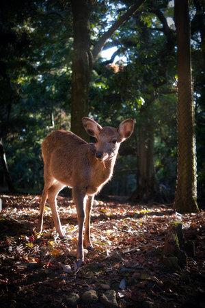 Photo of the deer in the park of nara in japan