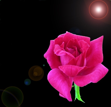 Pink rose in black background with flaring lights photo