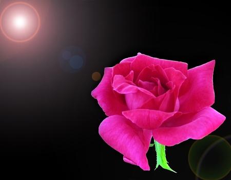 Flaring pink rose photo