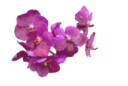 Closeup image of a purple orchid inflorescence blooming isolate on white