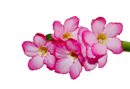 Pink azalea flowers isolate on white background,with clipping path. Reklamní fotografie