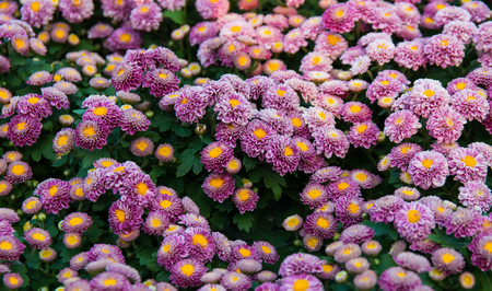 Full frame image of chrysanthemum pink flowers are not fully blossom in the plots.