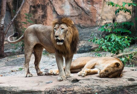 Male and female lions are resting on a rock under the shade.