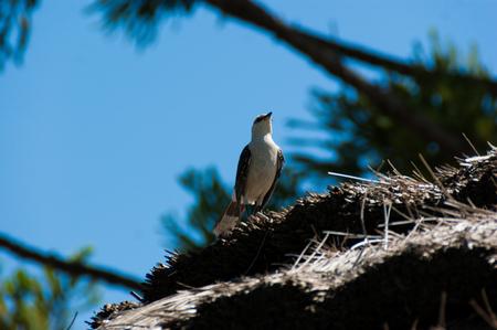 Chalk browed mockingbird with a blue sky background