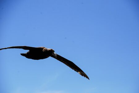 A beautiful Patagonian big bird, flying with its long wings over the blue sea and sky near Tierra del Fuego-Argentina