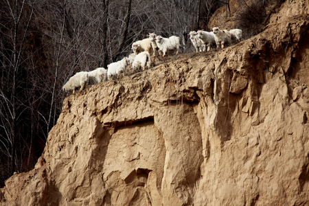 flock: a flock of goats