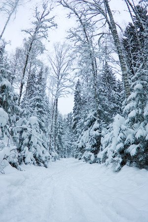 beautiful winter scenery, snow-covered spruce forest Stock Photo